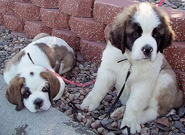 Two puppies pictures.JPG