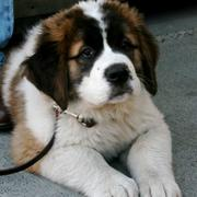 Saint Bernard dog photos.JPG