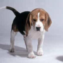 beagle puppy_body.jpg