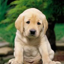 golden-retriever_sad puppy