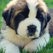 Saint Bernard dog picture.JPG