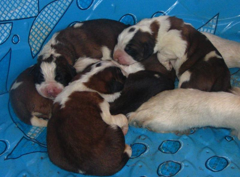 Saint bernard puppies photos.JPG
