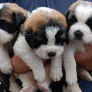 Saint bernard breeds pictures.JPG