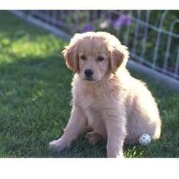 Golden-Retriever-Puppy
