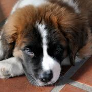 St Bernard Puppy chilling out.JPG