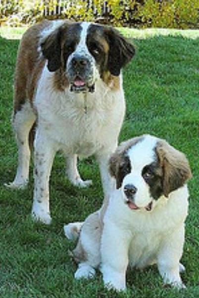 Saint Bernard dogs pictures.JPG