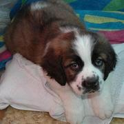 St Bernard dog picture chilling out on the pillow.JPG