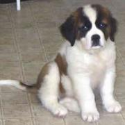 Adorable puppy picture of Saint Bernard dog.JPG