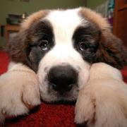 Cute and funny dog picture of Saint Bernard dog.JPG