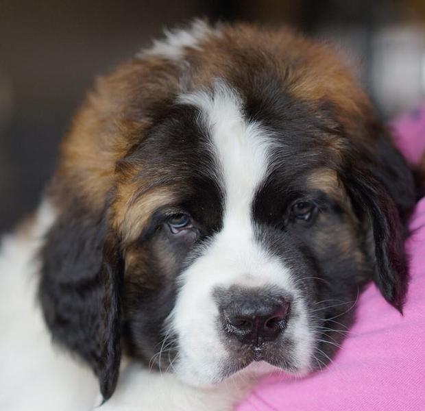 Cute puppy face photos of St Bernard dog looking straight to the camera.JPG