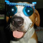 Funny dog photo wearing funny glass.JPG