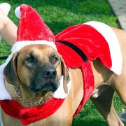 Chrismas dog costume pictures.JPG