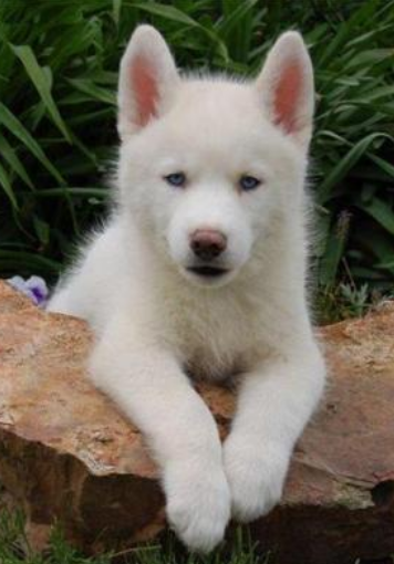 A Beautiful White Husky Puppy Pictures Png