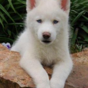 A beautiful white husky puppy pictures.PNG