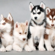 Beautiful siberian husky puppy breeders in various colors.PNG