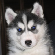 Black white alaskan husky puppy with pretty dark blue eyes.PNG