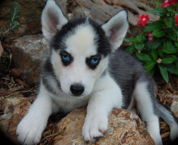 Black White Miniature Husky Puppy Photospng