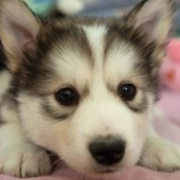 Cute puppy husky face close up picture of alaskan husky puppy.PNG