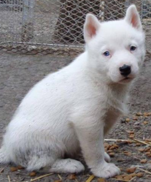 Picture of a cute yet sad looking white siberian husky puppy looking at the camera.PNG