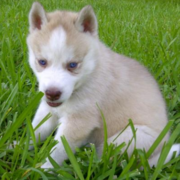 Tan husky puppy sitting on the grass looking so cute with its pretty blue eyes.PNG