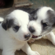 Two black white newborn husky puppies playing.PNG