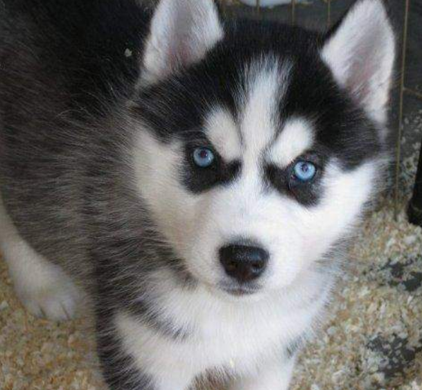 white black puppy siberian husky with beautiful blue eyes