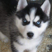 White black puppy siberian husky with beautiful blue eyes looking straight at the camera.PNG