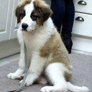 Saint Bernard puppy dog images.JPG