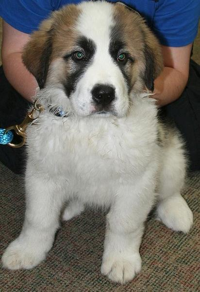 Saint Bernard puppy images.JPG
