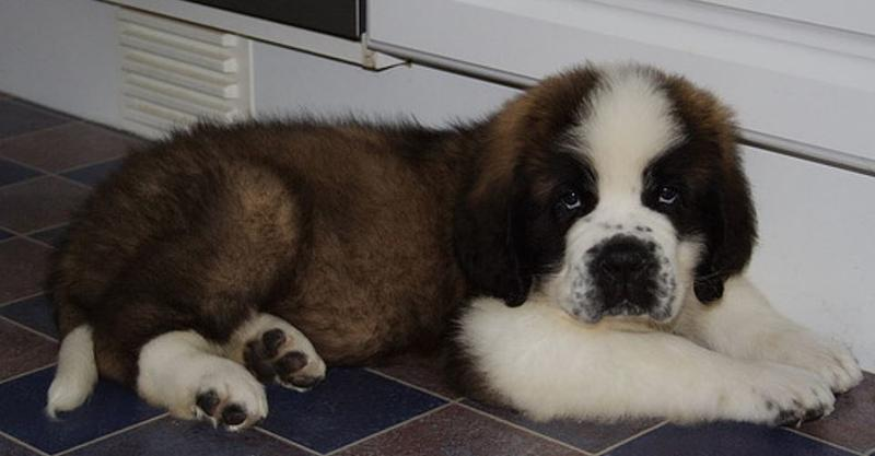 Saint Bernard puppy photo.JPG
