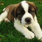 St. Bernard dog picture laying on the grass.JPG