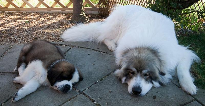 Chilling out dogs photos of Saint Bernards.JPG