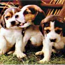 beagle pups_very cute.jpg