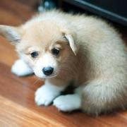 Young Wels Corgi pups picture.JPG