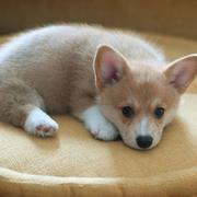 Adorable puppy picture chill out on its modern dog bed.JPG