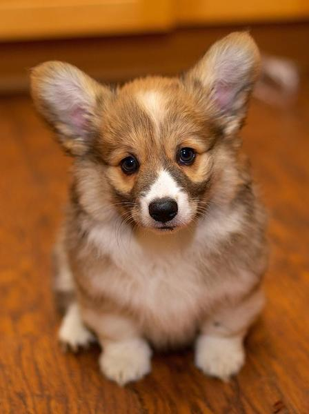 Beautiful puppy pictures of Welsh Corgi in white and brown tan patterns.JPG
