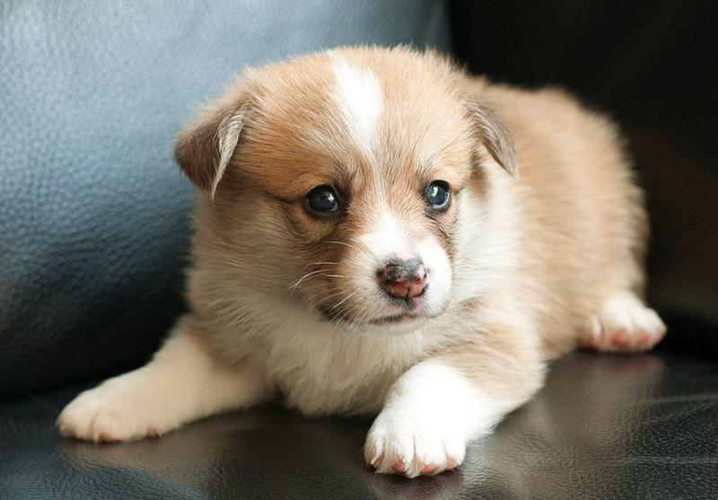 Corgi dog puppy picture.JPG