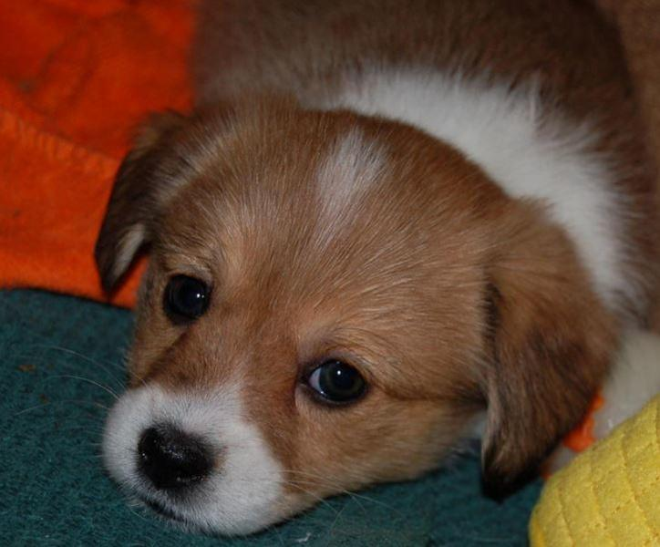 Cute puppy face photo of Welsh Corgi dog.JPG
