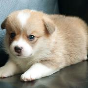 Little puppy picture of tan white Corgi.JPG