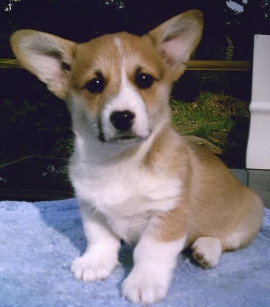 Short legs puppy pictures of Welsh Corgi dog.JPG