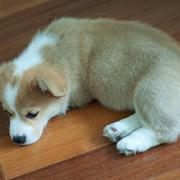 Tan white Corgi puupy picture.JPG