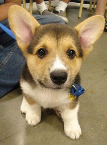 Three toned dog picture of Welsh Corgi puppy.JPG