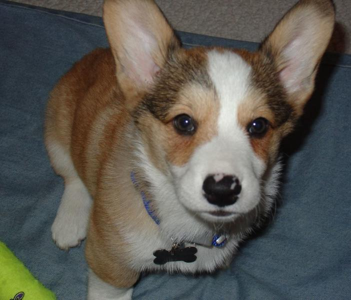 Welsh Corgi dog pictures.JPG