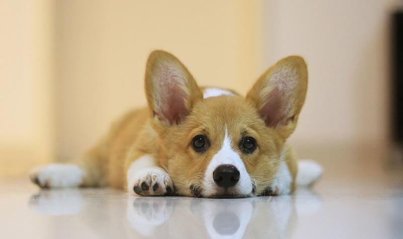 Welsh corgi dog puppy images.JPG