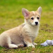 Welsh corgi pup picture.JPG