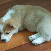 White tan short legged corgi picture.JPG
