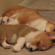 Two sleeping puppies picture of corgi dogs.JPG