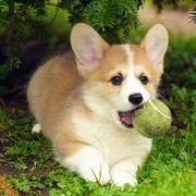 Welsh corgi pup images with its tennis ball.JPG