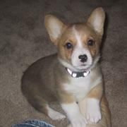 White tan corgi puppy picture.JPG