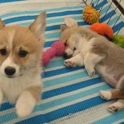 Young puppies picture of welsh corgi dogs.JPG
